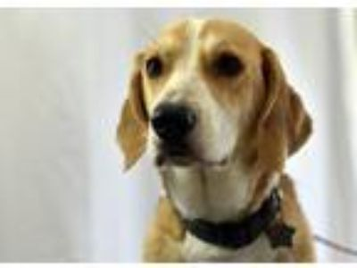 Adopt Ace a Basset Hound / Retriever (Unknown Type) / Mixed dog in Fort Worth