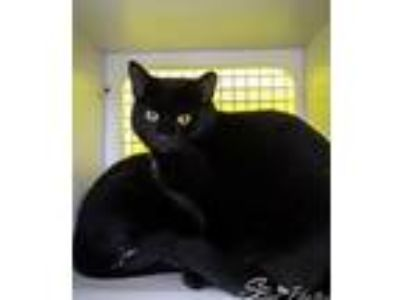Adopt Shadow a All Black Domestic Shorthair / Mixed (short coat) cat in St.