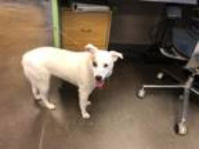 Adopt 13407 a Australian Cattle Dog / Mixed dog in Norman, OK (25323571)