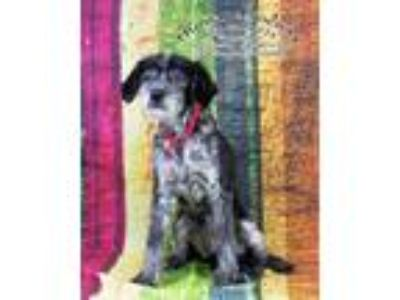 Adopt Abigail / AC 20387 a Lhasa Apso / Terrier (Unknown Type