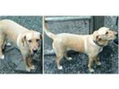 Adopt CASSIE a Tan/Yellow/Fawn Labrador Retriever / Mixed dog in Rootstown