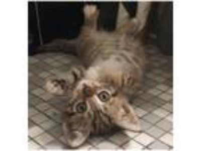 Adopt Buffy a Gray, Blue or Silver Tabby Domestic Shorthair (short coat) cat in