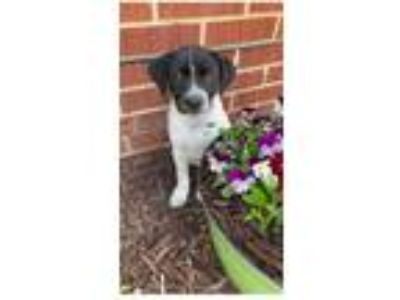Adopt Mules a Black - with White Labrador Retriever / Hound (Unknown Type) /