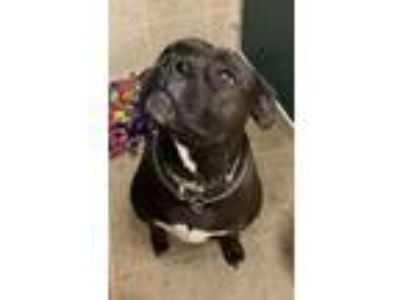 Adopt Harley a Pit Bull Terrier