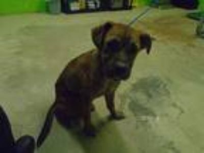 Adopt SUNSHINE a Brown/Chocolate - with White American Pit Bull Terrier / Mixed