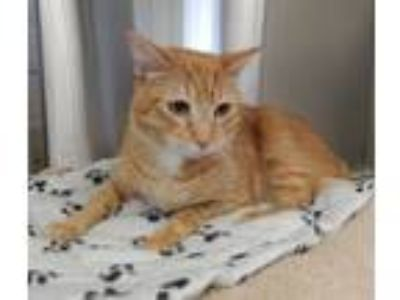 Adopt Chappie a Orange or Red Tabby Domestic Shorthair (short coat) cat in