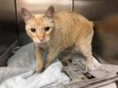 Adopt DeBo a Orange or Red Domestic Shorthair / Domestic Shorthair / Mixed cat