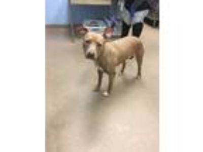 Adopt Meg a Brown/Chocolate Mixed Breed (Large) / Mixed dog in Chamblee