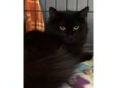 Adopt Raven a Domestic Long Hair, Maine Coon