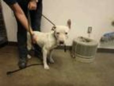 Adopt XENON a Pit Bull Terrier, Mixed Breed