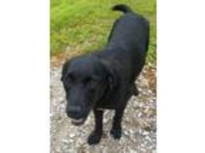 Adopt Jill a Black Golden Retriever / Border Collie / Mixed dog in Siloam