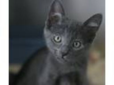 Adopt MacGyver a Gray or Blue Russian Blue (short coat) cat in Canoga Park