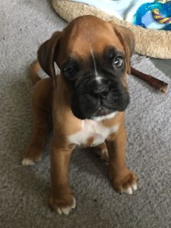 AKC Male Boxer born 6-9-18