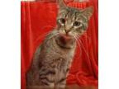 Adopt Steve a Brown Tabby Domestic Mediumhair / Mixed cat in Baton Rouge