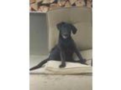 Adopt Kensie a Black Labrador Retriever / Mixed dog in Walpole, MA (25913684)