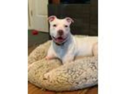 Adopt Pinky a White Pit Bull Terrier / Mixed dog in Garden City, MI (25840296)
