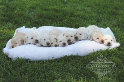 Labrador Retriever PUPPY FOR SALE ADN-112295 - AKC Labrador