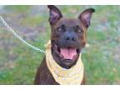 Adopt Prince a Staffordshire Bull Terrier