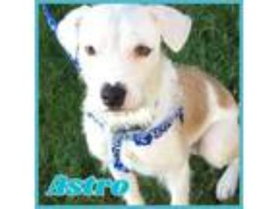 Adopt Astro a Wirehaired Terrier