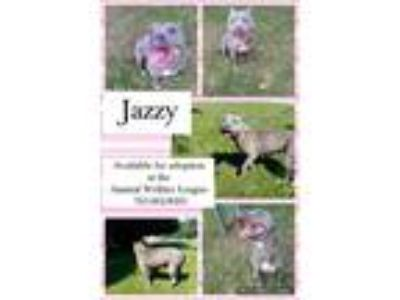 Adopt Jazzy a American Staffordshire Terrier