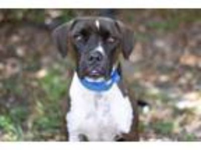 Adopt PRINCE a Pit Bull Terrier, Mixed Breed