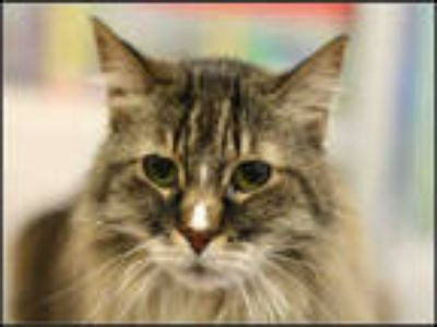 Adopt ZIA a Brown Tabby Maine Coon / Mixed (long coat) cat in Plano