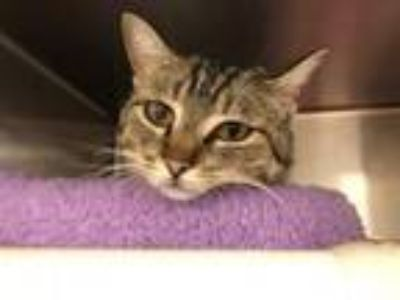 Adopt Hope a Domestic Short Hair