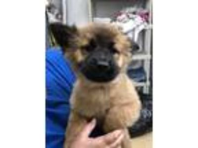 Adopt Kawaii a Shepherd, Golden Retriever