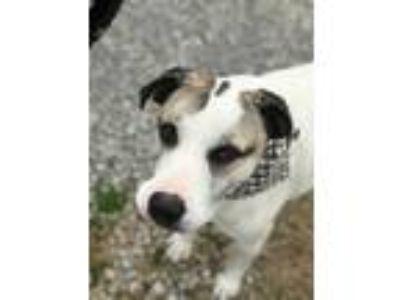 Adopt Malone a German Shepherd Dog, Labrador Retriever