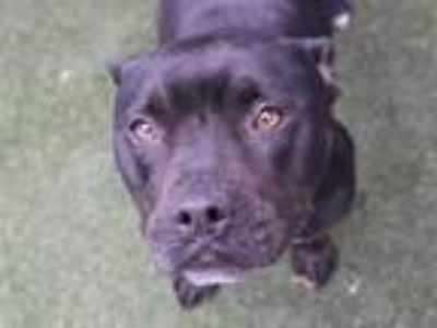 Adopt PETAL a Black - with White American Pit Bull Terrier / Mixed dog in