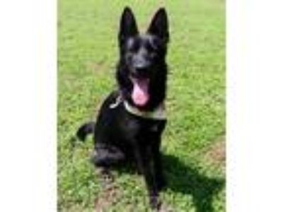 Adopt Fraulein JuM a Black German Shepherd Dog / Mixed dog in Clive