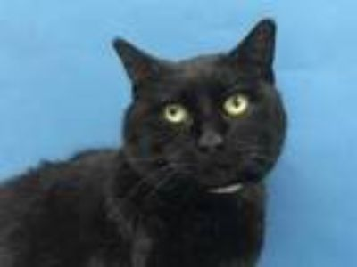 Adopt Fluter a All Black Domestic Shorthair / Domestic Shorthair / Mixed cat in