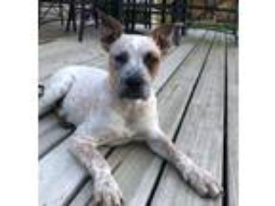 Adopt Heller a Australian Cattle Dog / Blue Heeler