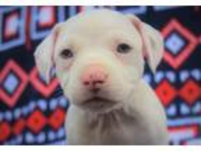 Adopt Rachel a White American Staffordshire Terrier / Mixed dog in Memphis