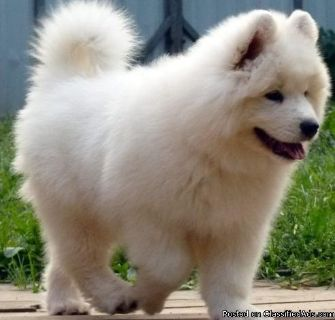 Freddigolas best male and female Samoyed puppies for adoption please contact via text or call for more details (530)-436