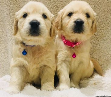 Mattiaci Golden Retrievers: Our Available Puppies Started on Training: