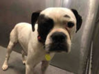 Adopt STRAY a White - with Black Boxer / Mixed dog in Dallas, TX (25600369)