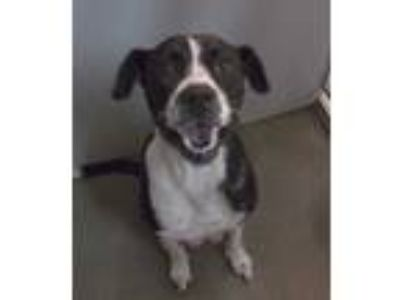Adopt Grizz a Black American Pit Bull Terrier / Brittany / Mixed dog in Clinton