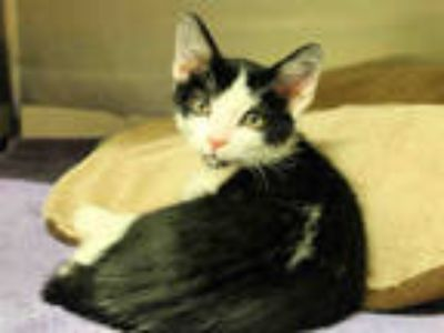 Adopt JEFFREY a White (Mostly) Domestic Shorthair / Mixed (short coat) cat in