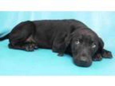 Adopt Chase a Black Labrador Retriever / Black and Tan Coonhound / Mixed dog in
