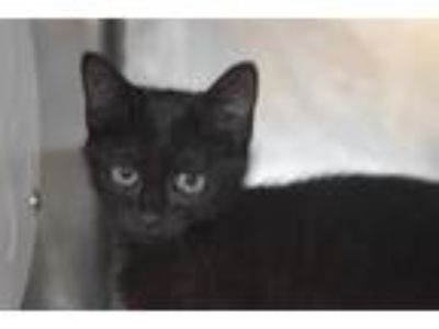 Adopt MORGANA a Domestic Short Hair