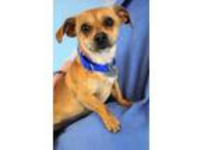 Adopt Sissy a Tan/Yellow/Fawn Dachshund / Terrier (Unknown Type