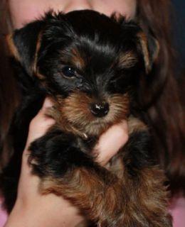 Yorkshire Terrier PUPPY FOR SALE ADN-107261 - Yorkshire Terrier Puppies YORKIES