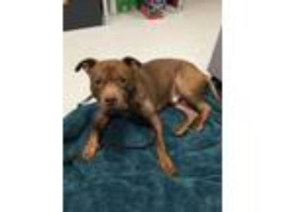 Adopt Lundyn a Brown/Chocolate American Pit Bull Terrier / Mixed dog in South
