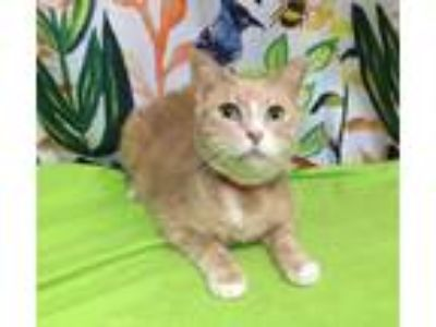Adopt Lionel a Domestic Short Hair