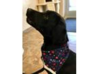 Adopt Brody a Black Hound (Unknown Type) / Labrador Retriever / Mixed dog in