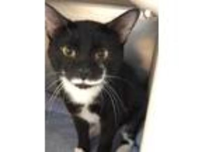 Adopt Olaf a All Black Domestic Shorthair / Domestic Shorthair / Mixed cat in