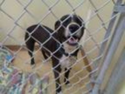 Adopt Oakley a Border Collie, Labrador Retriever