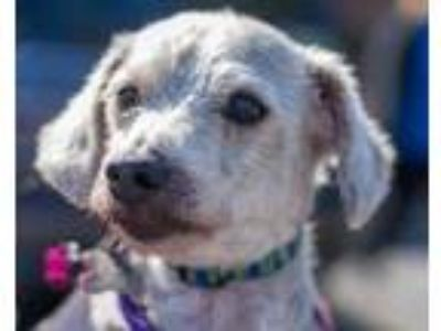 Adopt Cameron a White Poodle (Miniature) / Mixed dog in Roselle, IL (25197821)