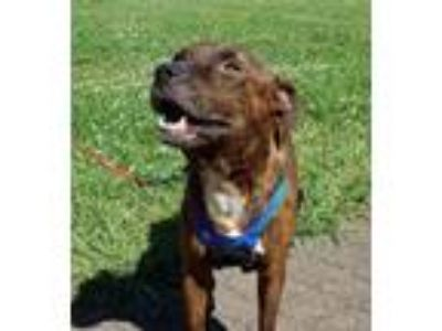 Adopt Flynn a Brindle - with White Pit Bull Terrier / Boxer / Mixed dog in